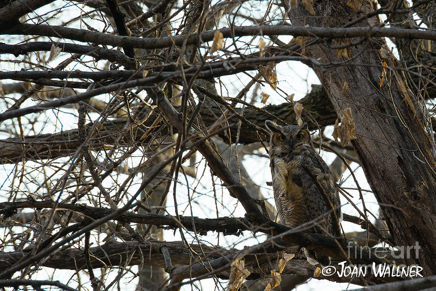 Great Horned Owl Photograph - Great Horned Owl by Joan Wallner