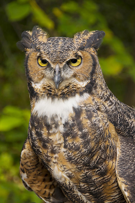 Great Horned Owl by Larry Bohlin