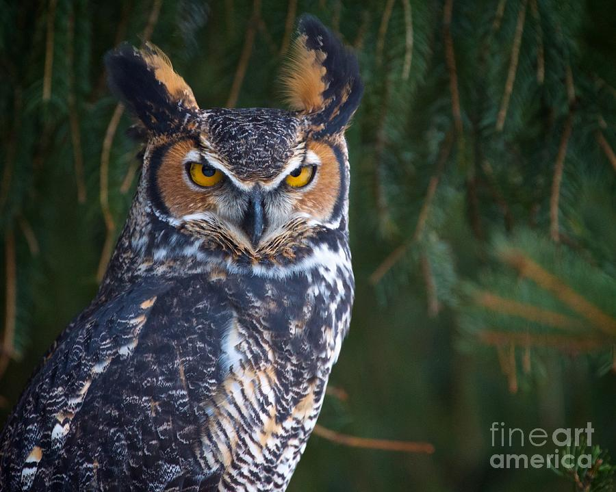 America Photograph - Great Horned Owl by Mike Mulick