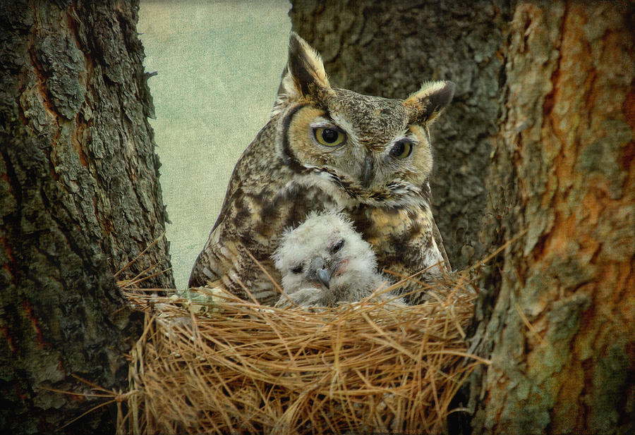 Great Horned Owl Mom And Baby Photograph by Cgander Photography