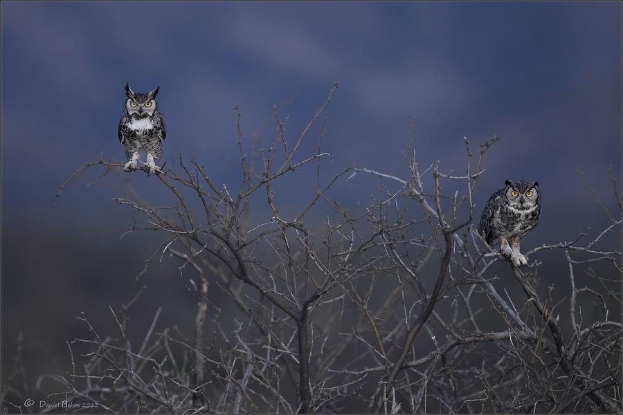 Great Horned Owls Photograph - Great Horned Owl Pair At Twilight by Daniel Behm