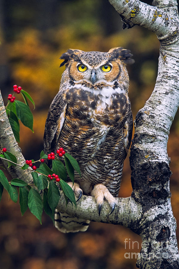 Owl Photograph - Great Horned Owl by Todd Bielby