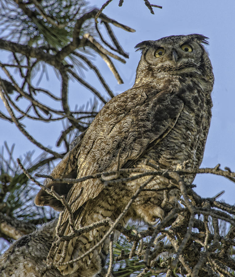 Owl Photograph - Great Horned Owl by Tom Wilbert