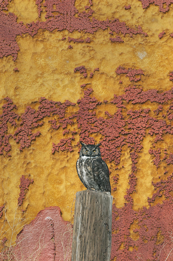 Great Horned Owl Tule Lake Nwr Photograph by Kevin Schafer