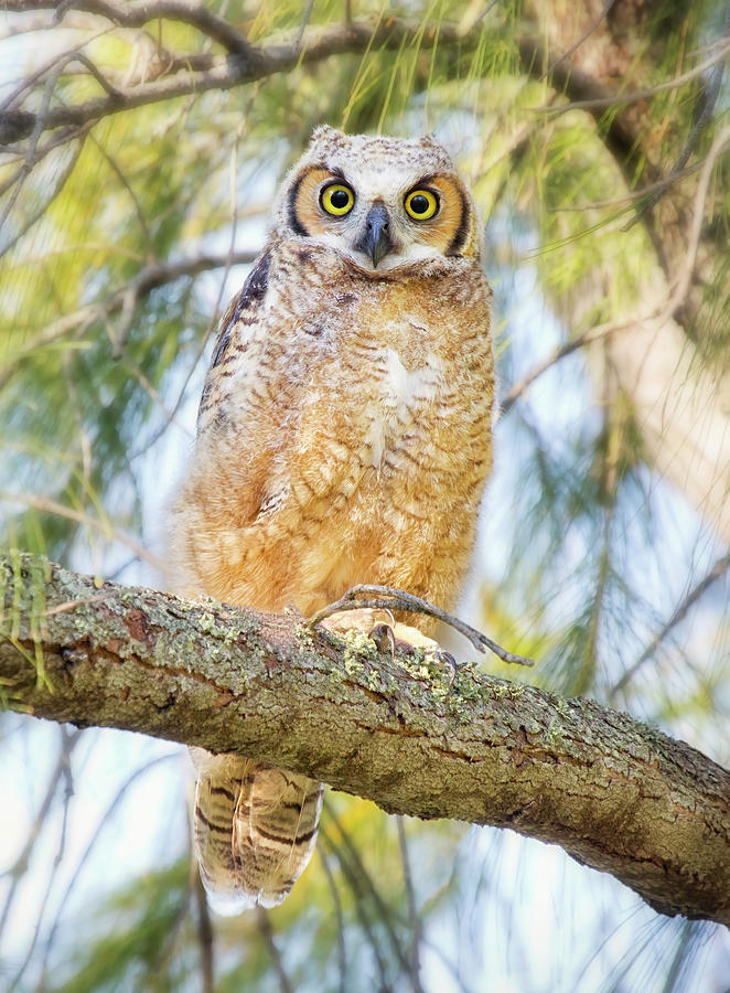 Great Horned Owlet Photograph by Kristian Bell
