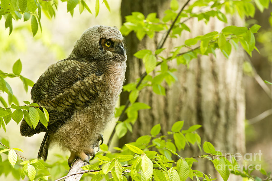 Great Horned Owlet Photograph