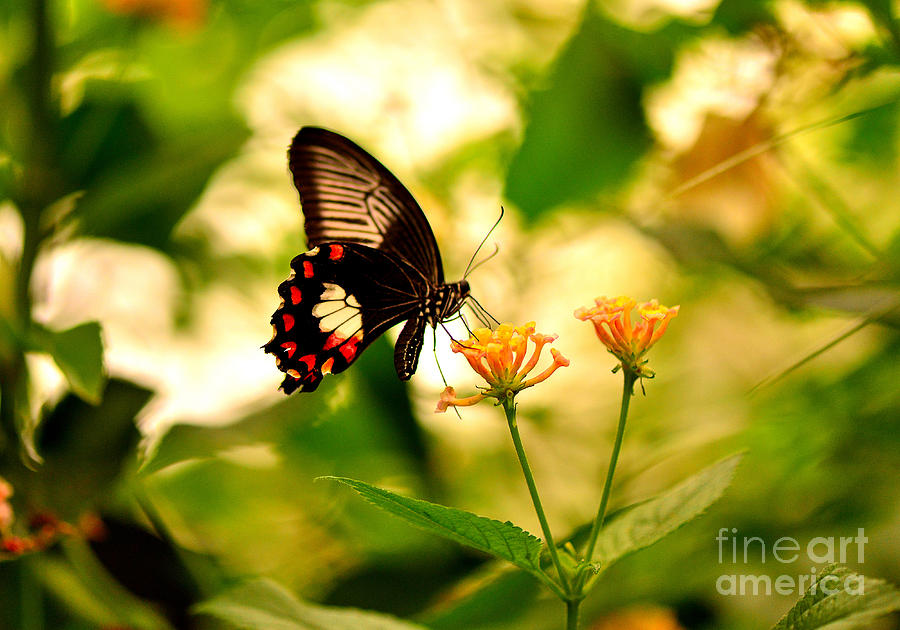 Butterfly Photograph - Great Mormon by Luminita Suse