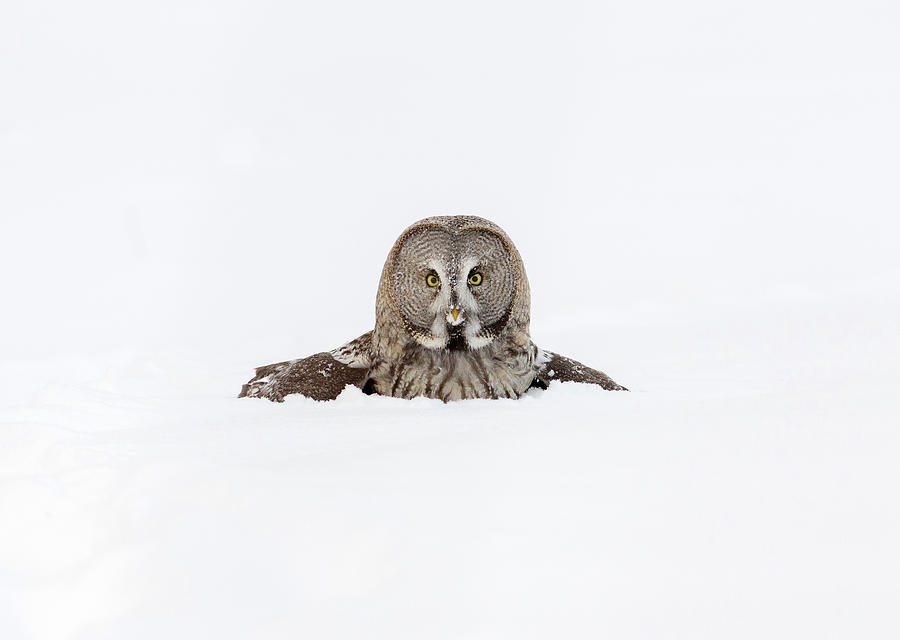 Great Owl  Allocco Di Lapponia  Strix Photograph by Amaurj