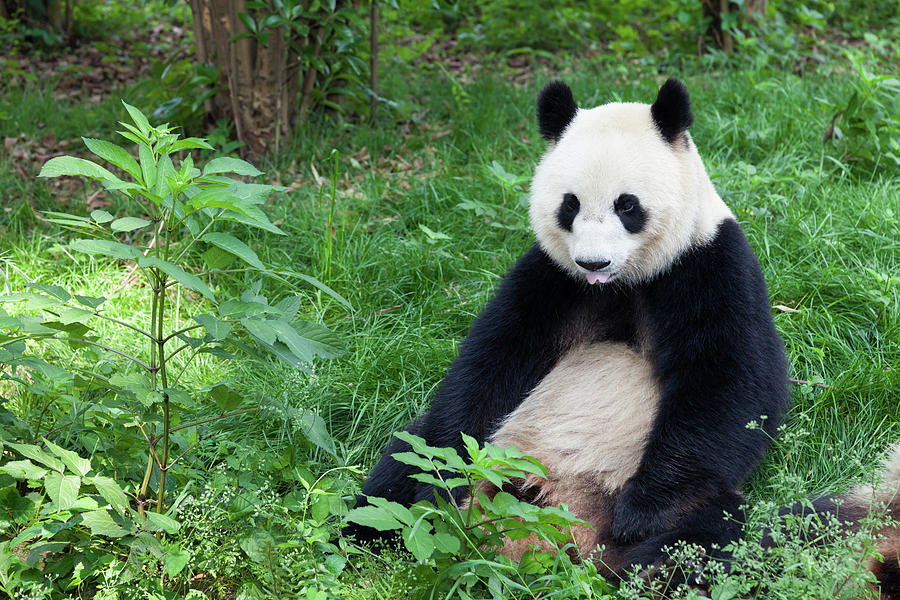 Great Panda Showing Its Tongue - Photograph by Fototrav