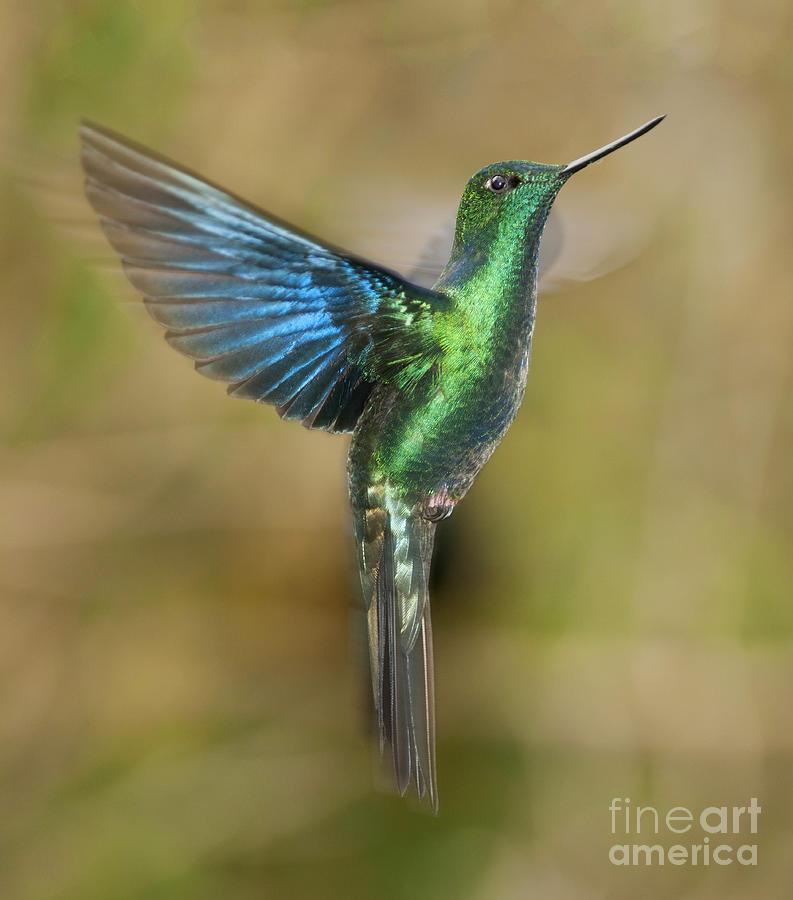 Hummingbird Photograph - Great Sapphirewing Hummingbird by Dan Suzio