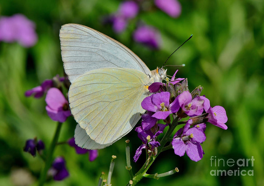 Butterfly Photograph - Great Southern White Butterfly by Kathy Baccari
