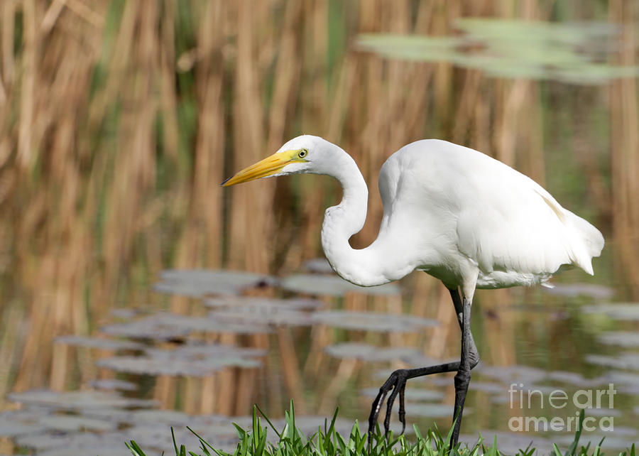 Egret Photograph - Great White Egret By The River by Sabrina L Ryan