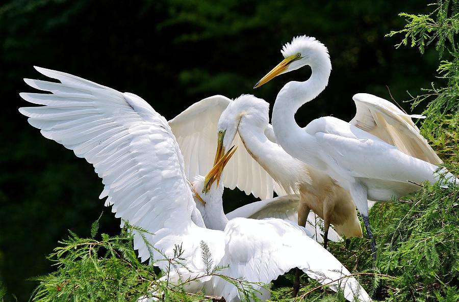 Great White Egret Photograph - Great White Egret Feeding Time by Paulette Thomas