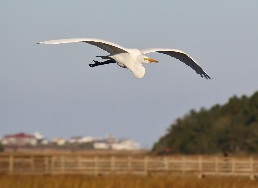 Great White Egret Photograph - Great White Egret Incoming by Paulette Thomas
