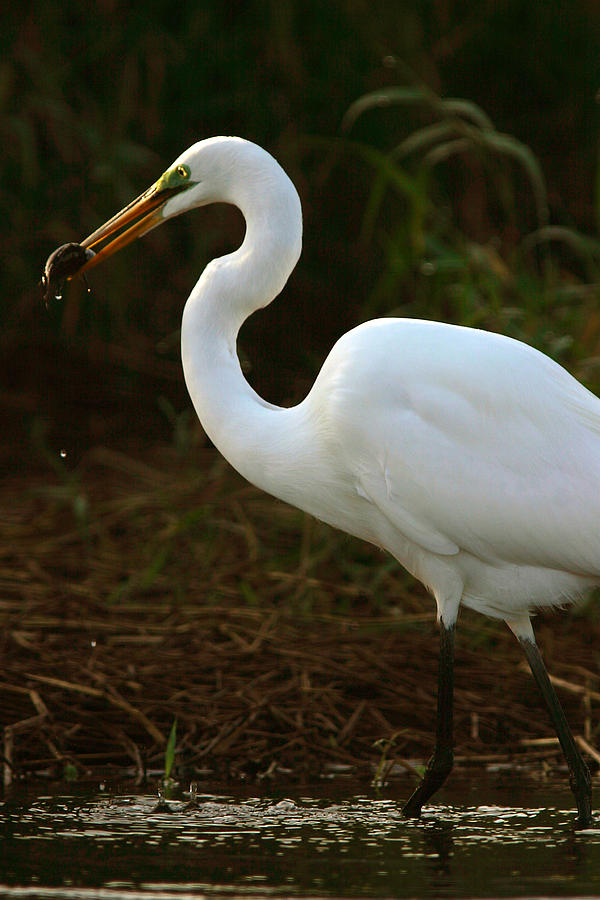 Egret Photograph - Great White Egret by Mark Russell