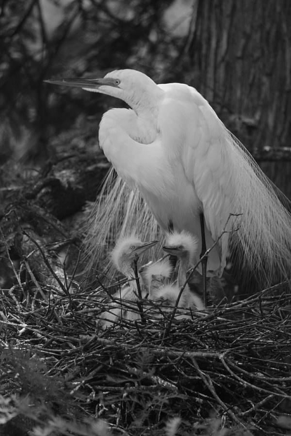 Photograph Photograph - Great White Egret Mom And Chicks In Black Ans White by Suzanne Gaff