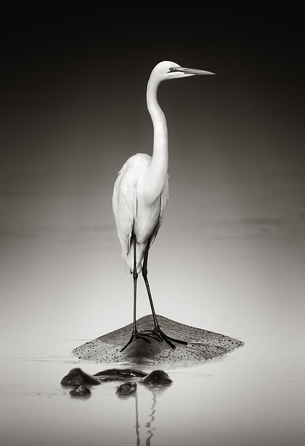 Egret Photograph - Great White Egret On Hippo by Johan Swanepoel