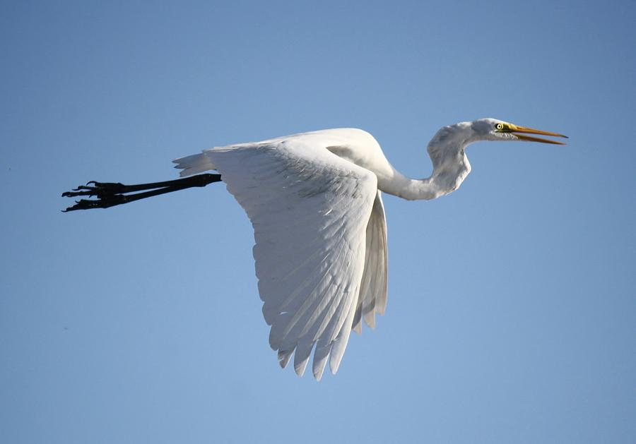 Great White Egret Photograph - Great White Egret Wings Down by Paulette Thomas