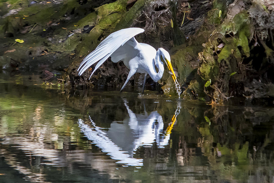 Birds Photograph - Great White Heron Fishing by Charles Warren