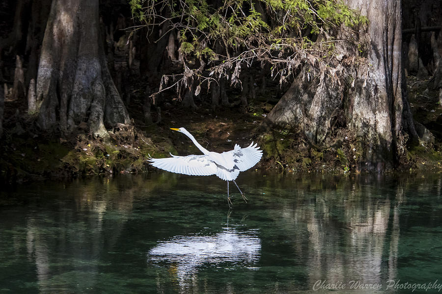 Heron Photograph - Great White Heron In Flight by Charles Warren
