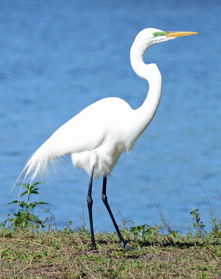 Great White Heron Photograph - Great White Heron by Julie Cameron