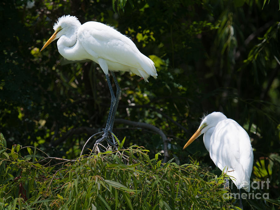 Great White Heron Meeting Photograph