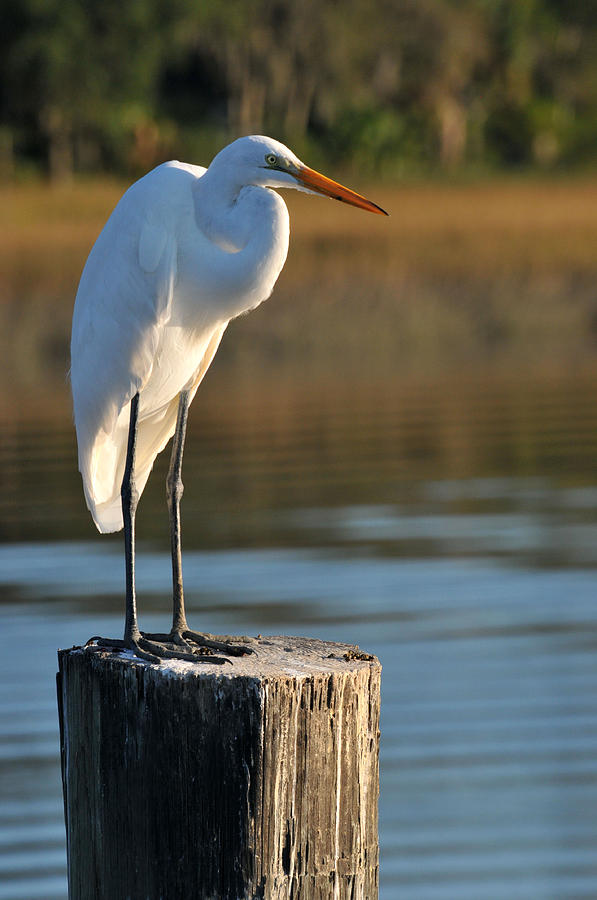 Great White Heron by Peter DeFina
