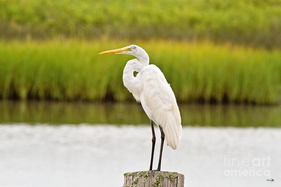 Marsh Photograph - Great White Heron by Scott Pellegrin