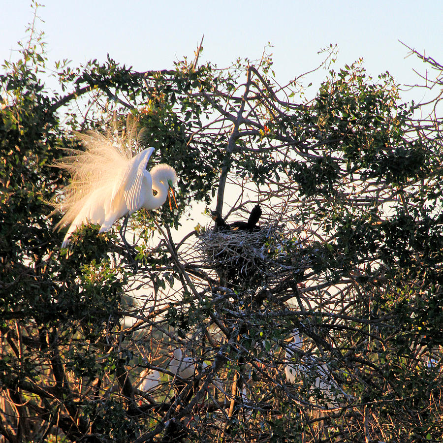 Heron Photograph - Great White Heron With Chicks by Rosalie Scanlon