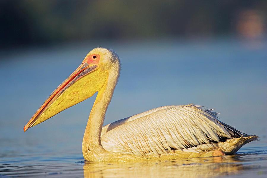 Animal Photograph - Great White Pelican (pelecanus by Martin Zwick