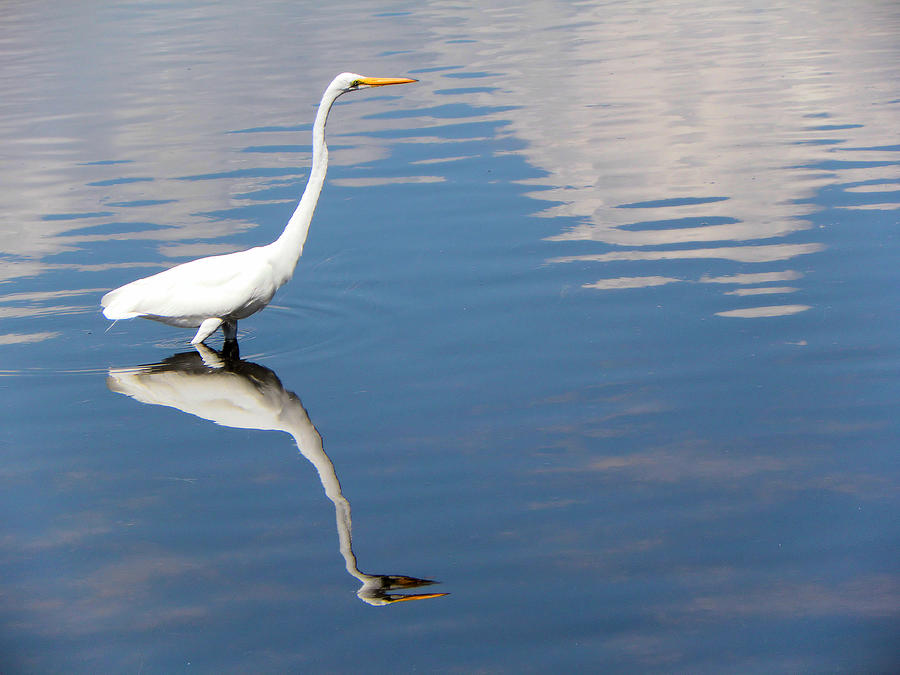 Bird Photograph - Great White Reflected by Rosalie Scanlon