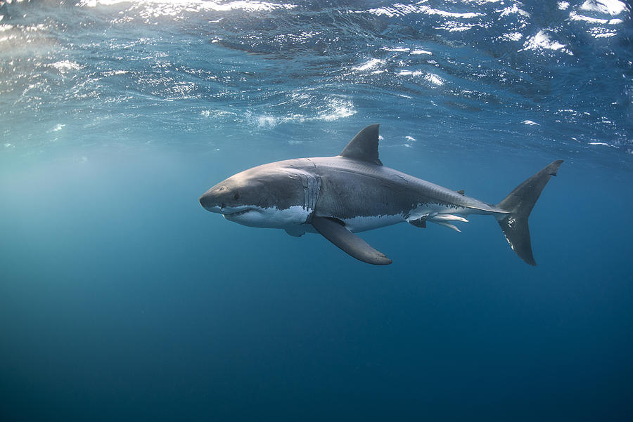 Great White Shark At The Surface Photograph by Alastair Pollock Photography