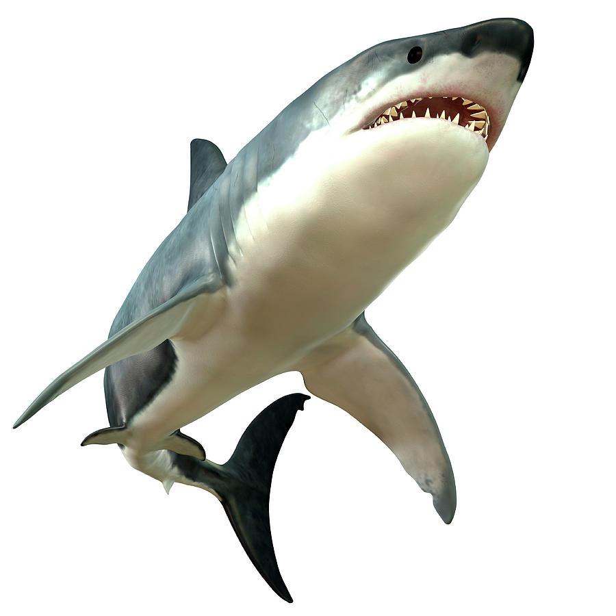 Great White Shark Digital Art by Corey Ford/stocktrek Images
