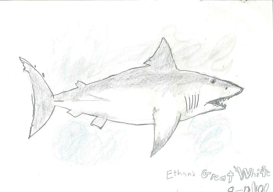 Great White Shark Drawing - Great White Shark by Fred Hanna