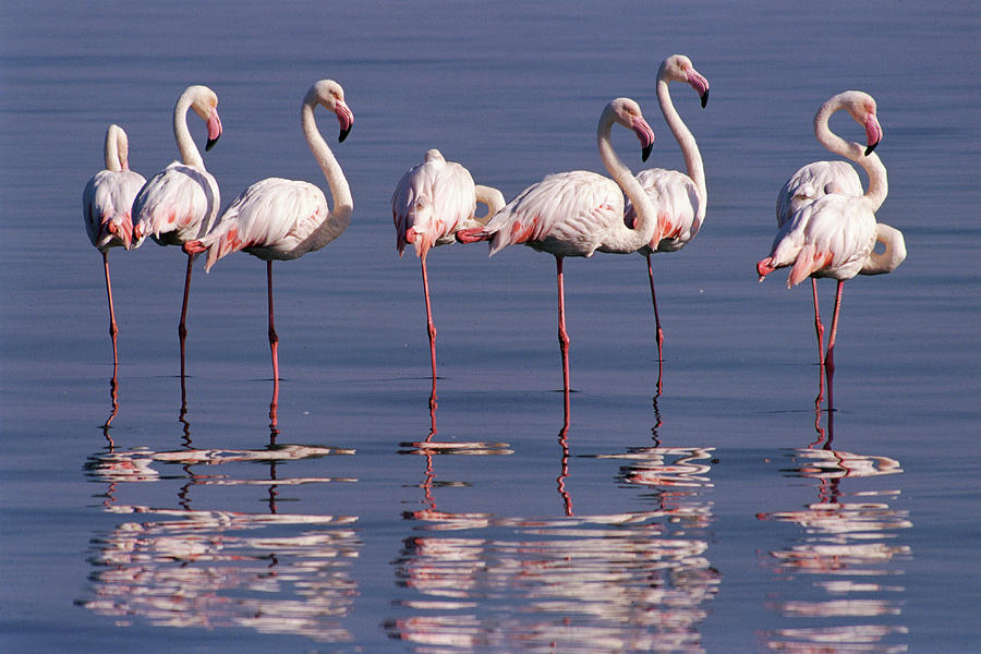 Greater Flamingo Group Photograph by Michael and Patricia Fogden