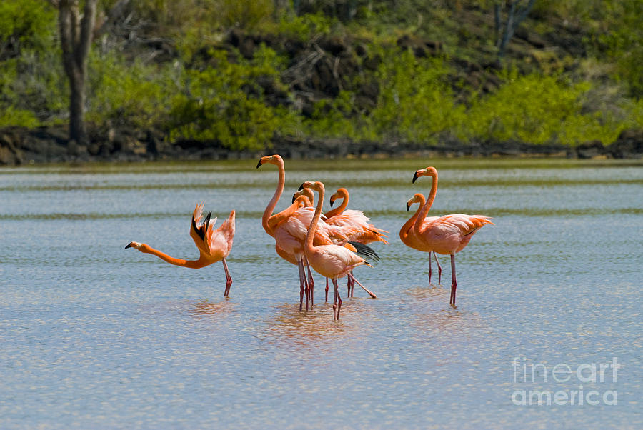 Greater Flamingos Photograph - Greater Flamingos by William H. Mullins