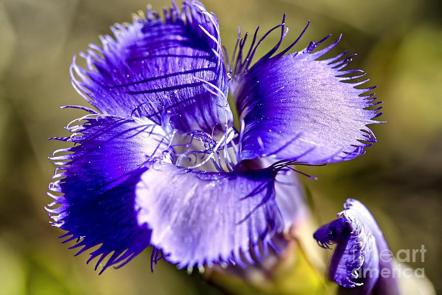 Wildflower Photograph - Greater Fringed Gentian by Teresa Zieba