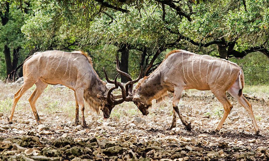 Two Greater Kudu fighting