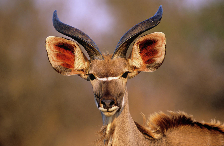 Greater Kudu Photograph - Greater Kudu by Tony Camacho/science Photo Library