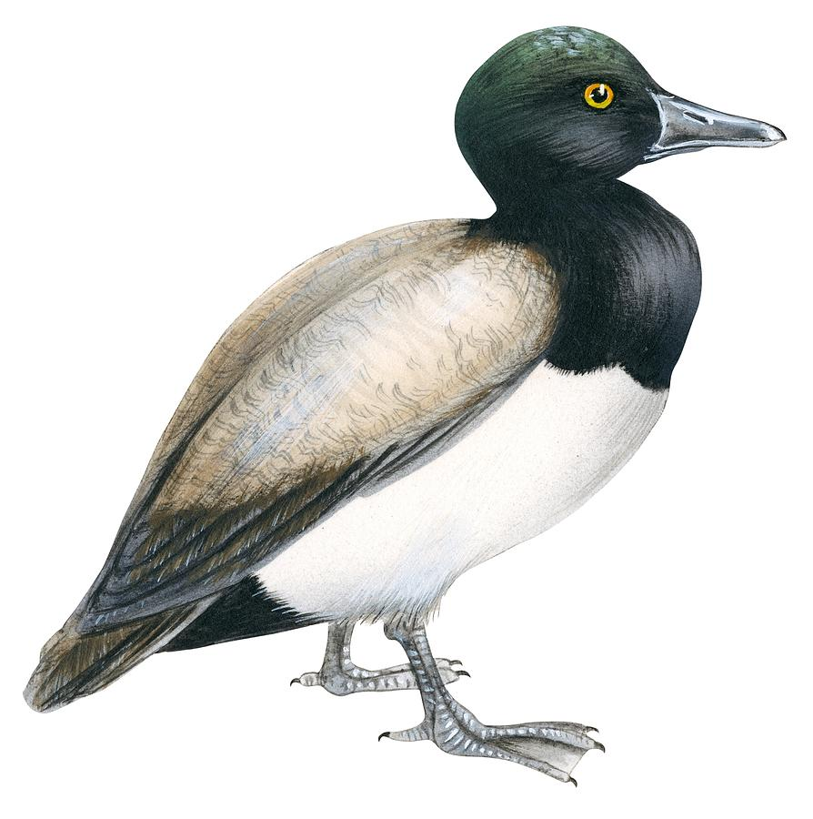 Scaup Drawing - Greater Scaup by Anonymous