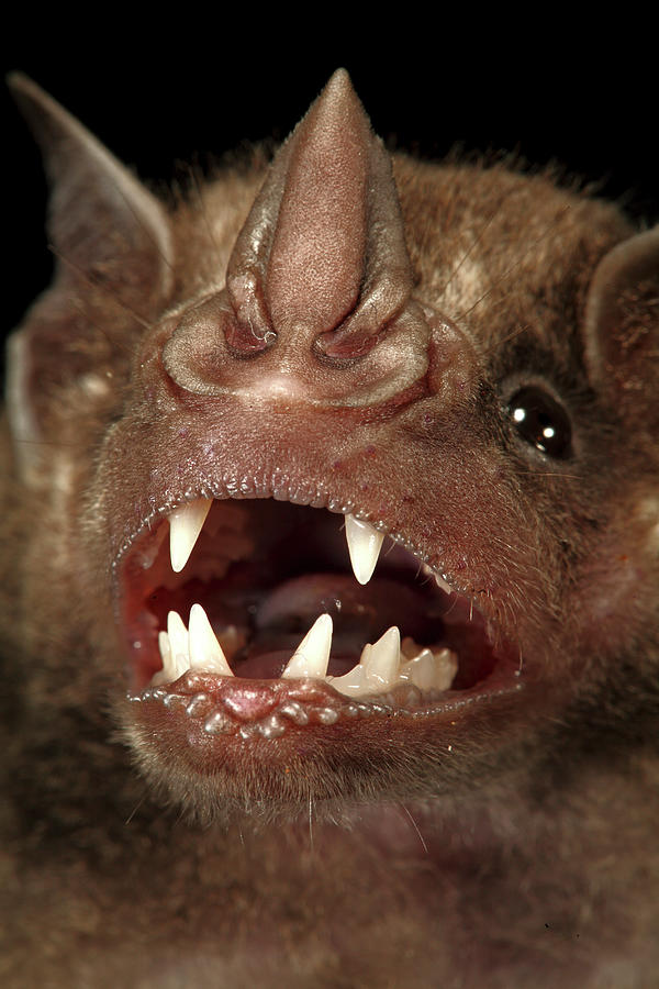 Barro Colorado Island Photograph - Greater Spear-nosed Bat by Christian Ziegler
