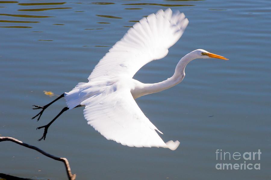 Lake Thomas Photograph - Greeat Egret Flying by Thomas Marchessault