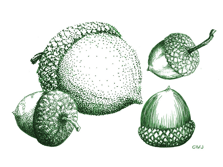 Acorn Drawing - Green Acorns by Cynda Warren Joyce