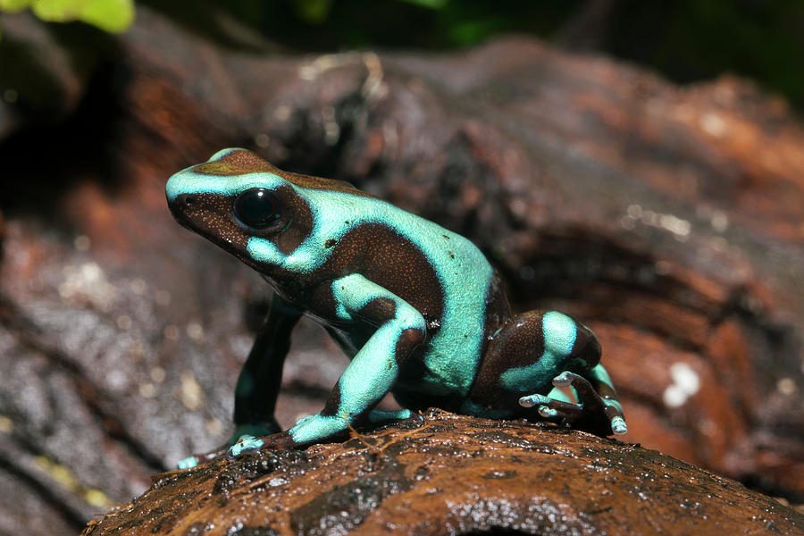 Green And Black Poison Dart Frog Photograph by Louise Murray