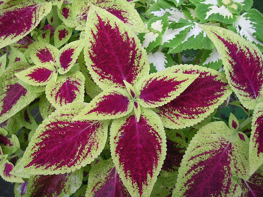 Plant Photograph - Green And Purple Coleus by Dusty Reed