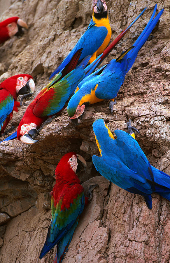 Macaw Photograph - Green And Red And Blue And Gold Macaws by Alfredo  Maiquez