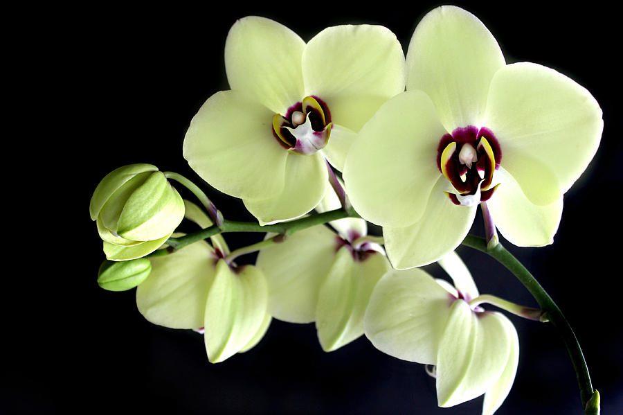 Phalaenopsis Photograph - Green and Wine hybrid Phalaenopsis Orchid by William Tanneberger