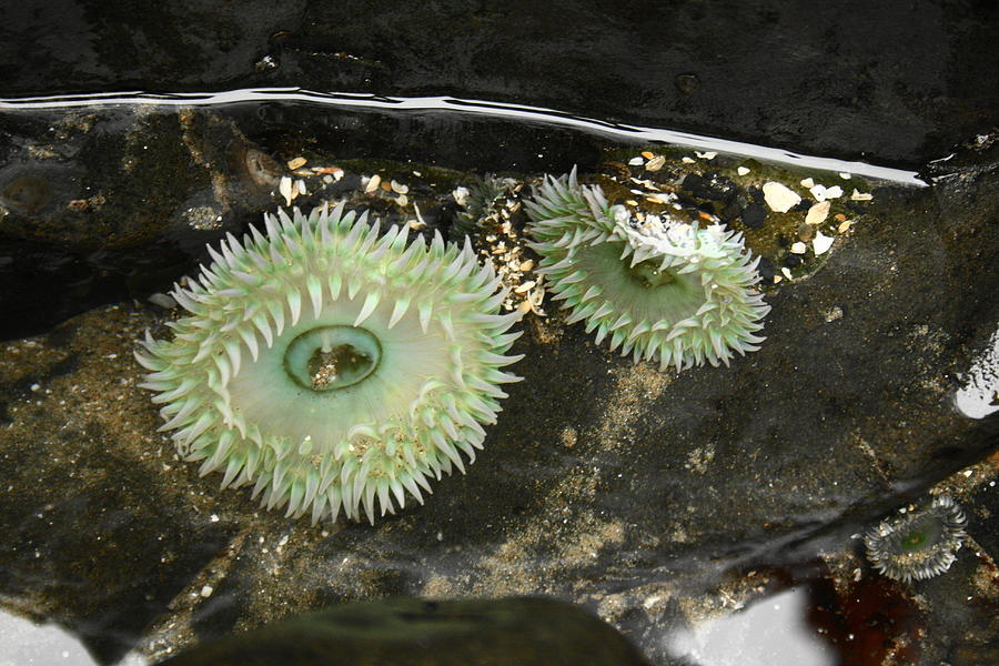 Green Sea Anemones Photograph - Green Anemones by Steven A Bash