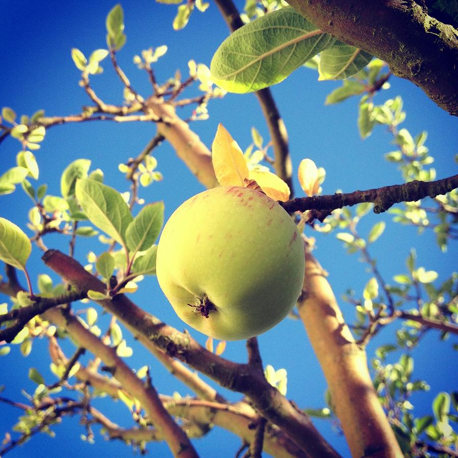 Green Apple Hanging From The Tree Photograph by Jodie Griggs