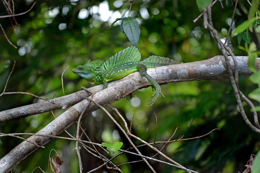 Green Basilisk Lizard Photograph - Green Basilisk Lizard by Gary Keesler